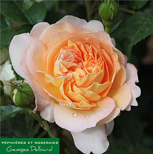 Amélie Nothomb ® delathom Beetrose