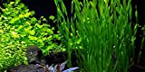 Vallisneria americana asiatica - 1 Bunch - Live Aquarium Plant