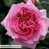 """Kletterrose """"Kölle's Rosenpoesie"""" - rosa blühende, duftende Topfrose im 6 L Topf - frisch aus der Gärtnerei - Pflanzen-Kölle Gartenrose"""