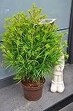 Japanische Schirmtanne Sciadopytis verticillata 30-40 cm hoch im 3 Liter Pflanzcontainer