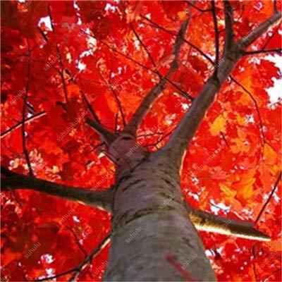 honic ! grande vendita 10 pezzi quercia rossa americana bonsai quercus albero perenne piante legnose decorazione cortile per piantare giardino di casa, facile: 8
