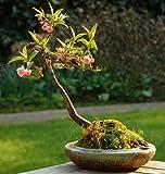 Portal Cool Mandelbaum - Schöne Blüte - Bonsai - Prunus Dulcis - 25 frische Samen
