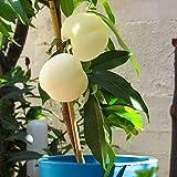 Keland Garten - 5pcs Raritäten saftigsüß Weißer Pfirsich Fruit Me® Icepeach®, Obstsamen winterhart mehrjährig für Kübel auf Balkon und Terrasse