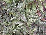 3x Regenbogenfarn, Athyrium niponicum