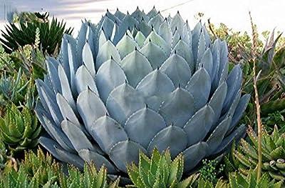 Seltene Agave parryi truncata - verschiedene Größen von GardenPalms auf Du und dein Garten