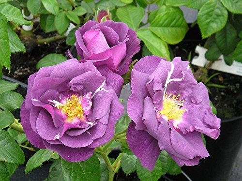 rhapsody-in-blue-4lt-potted-floribunda-garden-rose-bush-stunning-purple-lilac-fragrant-blooms-rose-o
