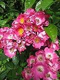 Kletterrose Maria Lisa - Rosa Maria Lisa - rosa-weiß - Duft+ - Ramblerrose