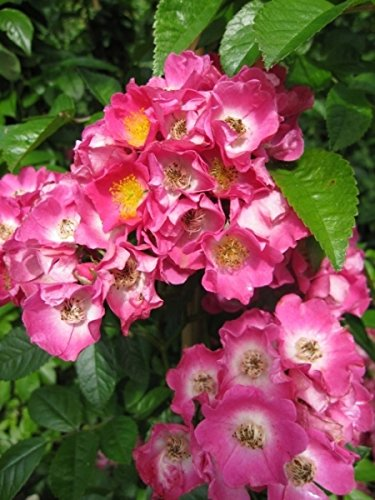 Rose rugosa- ca.