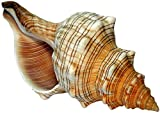 Kaltner Präsente Geschenkidee - 14 bis 15 cm groß Muschel Fasciolaria Trapezium Trapez Bandschnecke Meeresschnecke