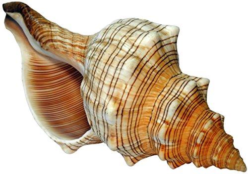 Kaltner Präsente Geschenkidee - 14 bis 15 cm groß Muschel Fasciolaria Trapezium Trapez Bandschnecke Meeresschnecke Muschel