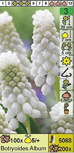 Muscari botryoides - Weiße Traubenhyazinthe(10 Blumenzwiebeln)