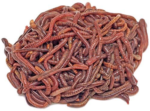 DaWurmbauer Kompostwürmer kaufen - 500 Stück + 1 Beutel Wurmstarterfutter - Regenwürmer Würmer lebend Futterwürmer Gartenwürmer Wurmhumus...