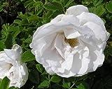 Tree Seeds Online - Rosa Rugosa Alba 25 Samen. Weiß Rose - 10 Packungen