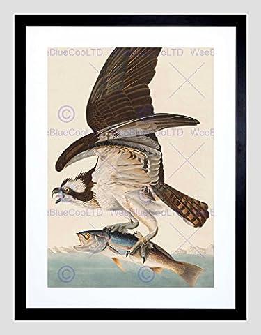 AUDUBON AMERICAN FISH HAWK BLACK FRAMED ART PRINT B12X5247