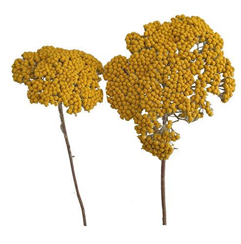 Achillea Schafgabe Natur Gelb 1kg Getrocknet Exoten Naturmaterial Grabschmuck