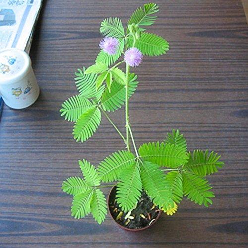 Ncient 5/10/20 Semillas de Mimosa Pudica Sensitiva Vergonzosa Planta Sensible Semillas Flores Raras Plantas Bonsai para Jardín Balcon Interior y Exteriores
