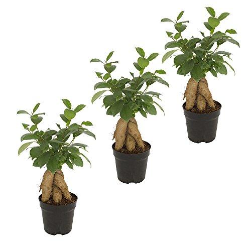 Ficus Ginseng Bonsai,