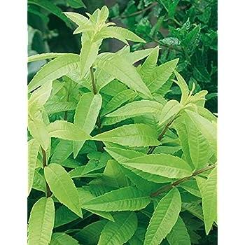 Lemon verbena /'Freshman/' Herb Plant in a 13cm pot Lippia citriodora