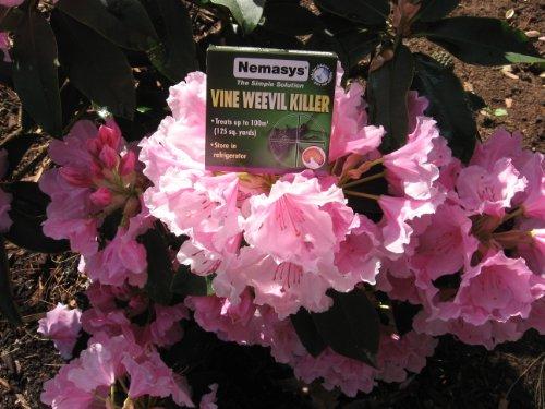 nemasys-vine-weevil-killer-100-sq-m-next-day-delivery