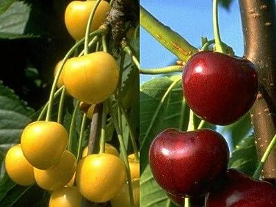 Duo-Süß-Kirsche: Dönnisens Gelbe Knorpel® + Große Schwarze Knorpel®, auf einem Stamm, 1 Pflanze von Amazon.de Pflanzenservice bei Du und dein Garten