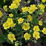 Blumixx Stauden Waldsteinia geoides - Horstige Ungarwurz, im 0,5 Liter Topf, gelb blühend