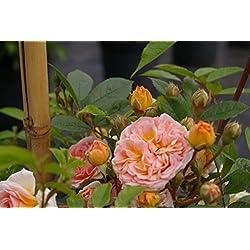 Kletterrose Ghislaine de Feligonde® - Rosa Ghislaine de Feligonde® - gelborange-apricot - Duft+ - Ramblerrose