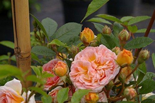 Zarter Duft (Kletterrose Ghislaine de Feligonde® - Rosa Ghislaine de Feligonde® - gelborange-apricot - Duft+ - Ramblerrose)