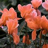 Keptei Samenhaus- 50 Korn Alpenveilchen Gemischte Farbe Blumesamen Zyklamen wohlriechende Blüten Seed Bonsai winterhart mehrjährig fuer Ihr Garten