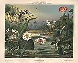 Wasserpflanzen, Seerose, Lotusblume u.a. - Antiquarische Lithografie (Sammlerstück) von 1897