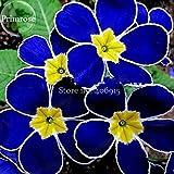 TopOne ventes Rare Onagre Telosma Cordata, 30 graines, odeur merveilleuse lumière épilobe nuit votre jardin