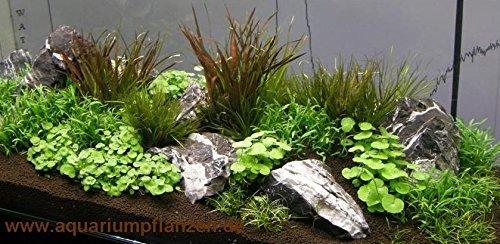 Mühlan - Wasserpflanzensortiment Aquariumwiese, ausschließlich kleinbleibende Vordergrundpflanzen inkl. Dünger -