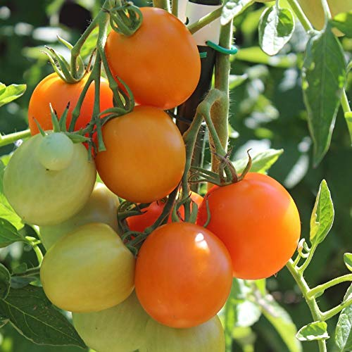 10 Samen Auriga Tomate - Freilandsorte, ertragreich
