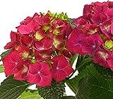 Dehner Bauern-Hortensie, leuchtend rote Blüten, ca. 30-40 cm, 19 cm Topf, Zierstrauch