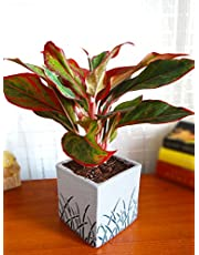 Rolling Nature Red Aglaonema Siam Aurora Chinese Evergreen