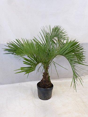 [Palmenlager] Butia capitata - Geleepalme - 150 cm - dicker Stamm/-15°C Frost