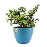 Abana Homes Good Luck Jade Plant with Ceramic Pot - Indoor Air Purifying Plant