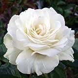 ROSE ELVIS- Great Gift Idea, A Unique Rose Gift To Send For Fans Of Elvis Presley
