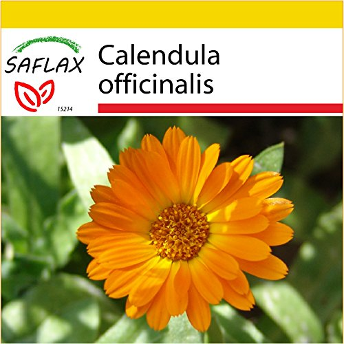 SAFLAX - Kit de culture - Souci - 50 graines - Calendula officinalis