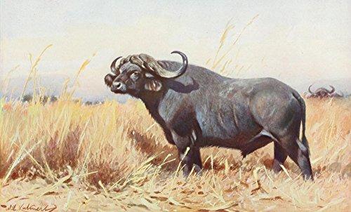 The Poster Corp F.W. Kuhnert - Tierleben 1920 American Buffalo Kunstdruck (45,72 x 60,96 cm) -