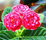 Fash Lady 100 PCS/bag, molte varietà possono essere scelte Gloxinia Garden Piante da fiore perenni Sinningia Speciosa Bonsai Balcony Flower: 6