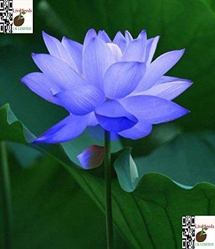 bonsai-lotus-wasser-lily-blume-bowl-pond-5-frische-samen-saphir-lotus