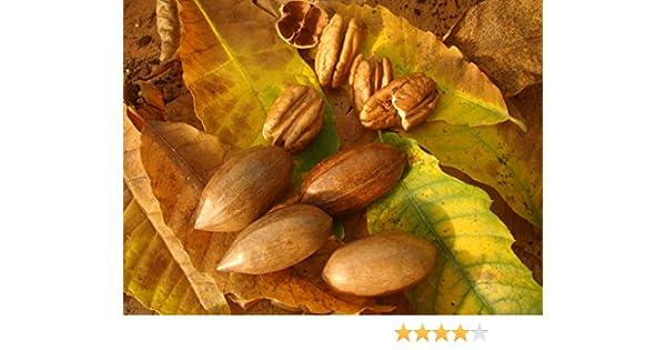 Pecan Nuts Tree Finest UK Seller 3 seeds DIY Own Garden