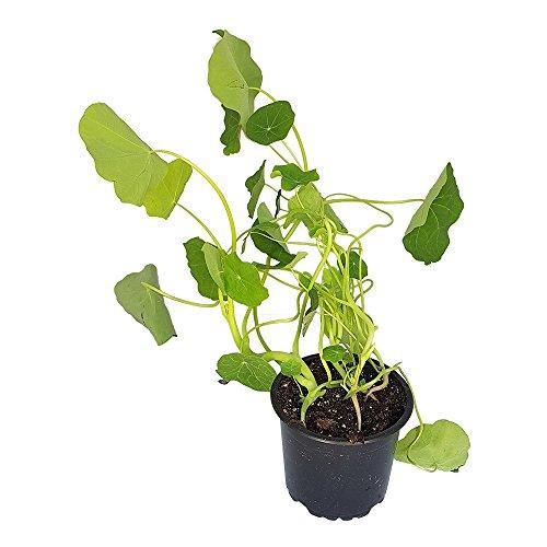 BIO Kapuzinerkresse-Pflanze, einjährig von DESCENA, Tropaeolum majus, Salatkraut Küchenkraut, 12 cm Topf