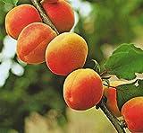 Pianta da frutto ALBERO DI ALBICOCCO DI SETTEMBRE DAI FRUTTI GROSSI h 150 cm pianta vera