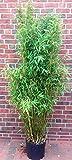 Bambus, Höhe: 160-170 cm, Fargesia murielae