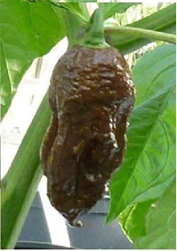 ili/Chili Pepper Schokoladen-Bhut-Jolokia 100 Samen Bulk ()