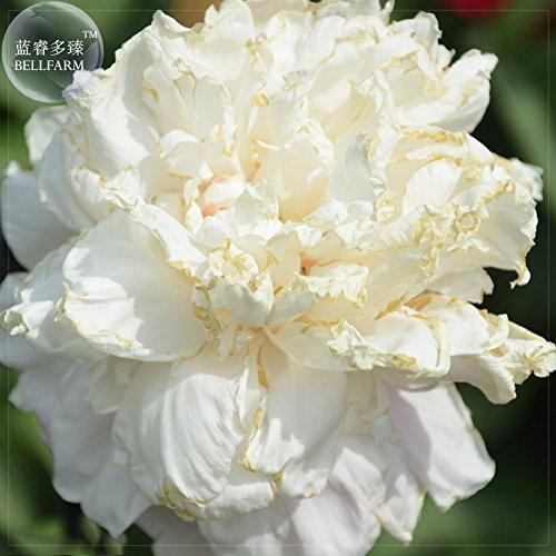 Go Garden Bellfarm Bonsai & # 39; Jinbianbai & # 39; Blanc Golden Peony un must pour aimer les grandes fleurs -5pcs haute Germination/Pack