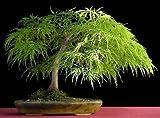 Lace Blatt Japanischer Ahorn, Acer palmatum Dissectum, 10 Baumsamen