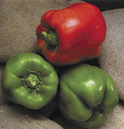 Pase Seeds Pepper Seed - Sweet Jupiter Seeds - Jupiter Oil