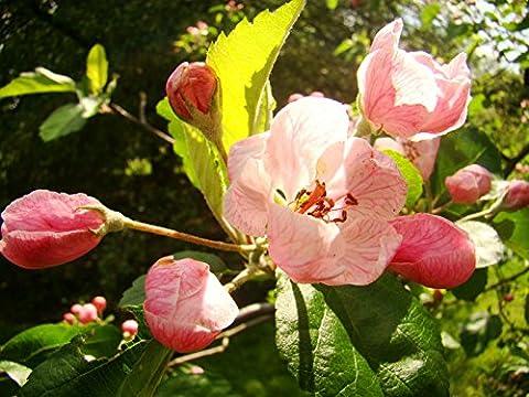 Prairie Crab Apple MALUS IOENSIS, fragrant, flowering, small tree, hardy,